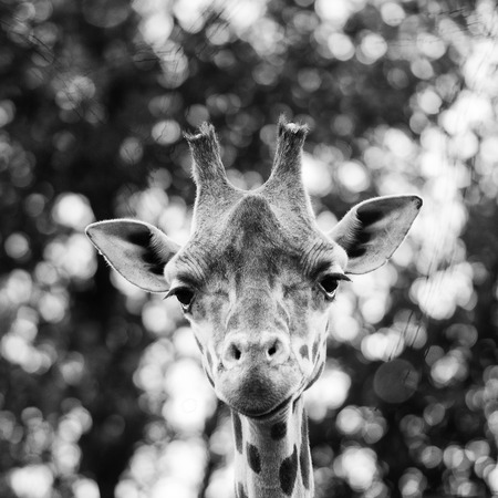 Isolated giraff close up portrait while looking at you photo