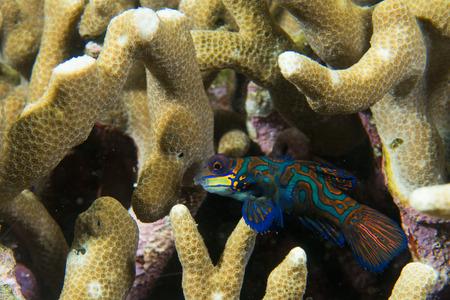 dragonet: Mandarin fish on hard coral background Stock Photo