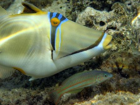 napoleon fish: Red Sea Picasso Trigger Fish close up portrait Stock Photo