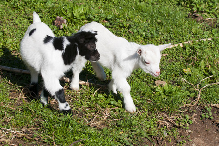 caprine: Just born white goatling nannie Stock Photo