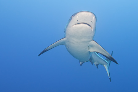 Shark jaws ready to attack underwater close up portrait Imagens - 31626273
