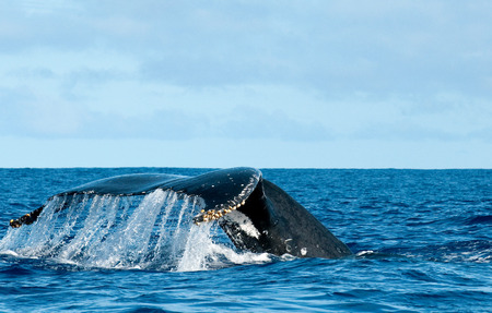 breaching: Humpback whale tail going down in blue polynesian sea Stock Photo