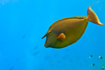 napoleon fish: Red Sea Hunicorn Fish close up portrait
