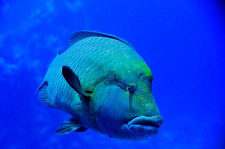 napoleon fish: Red Sea Napoleon Fish close up portrait Stock Photo
