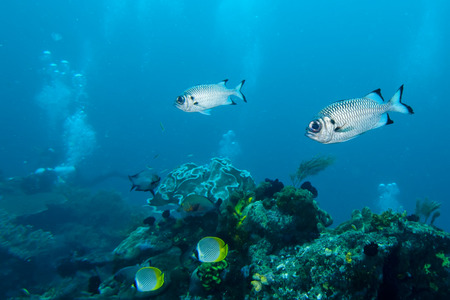 Two fishes portrait in underwater realms of Raja Ampat, Papua Indonesia