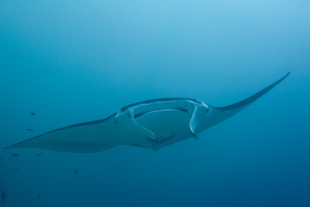 An isolated Manta coming to you in the blue background photo