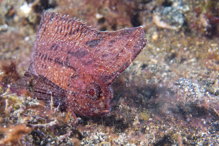 wildlive: Brown Leaf fish in Siladen Indonesia