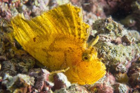 sealive: Yellow Leaf fish in Cebu, Philippines Stock Photo