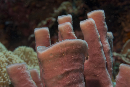 guinea worm: Tuibe sponge in the reef background Raja Ampat Papua, Indonesia