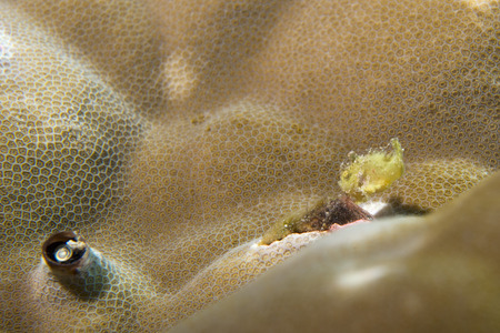 hard coral: Extremely Small Baby yellow frog fish on hard coral