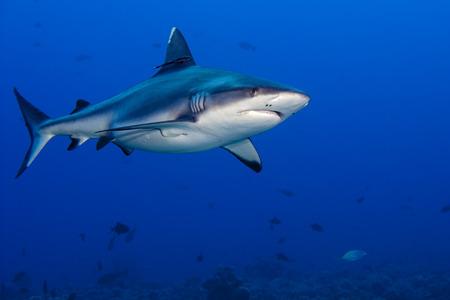 深い青色の海に水中でサメの攻撃