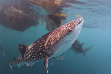Whale Shark close up underwater with big enormous open mouth jaws photo