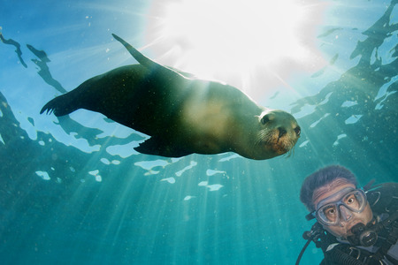 Scuba diver and Sea Lion Seal looking at you underwater Editorial