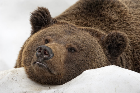 Brown bear grizzly portrait in the snow while looking at you photo