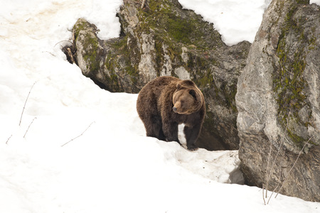 Brown bear brown grizzly walking to you on the snow background photo