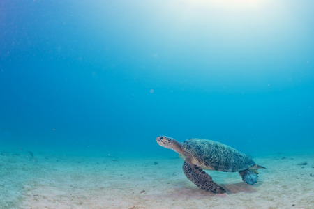 Green turtle coming to you underwater while diving photo