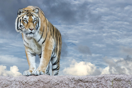 tiger head: Siberian tiger ready to attack looking at you in the rocks background