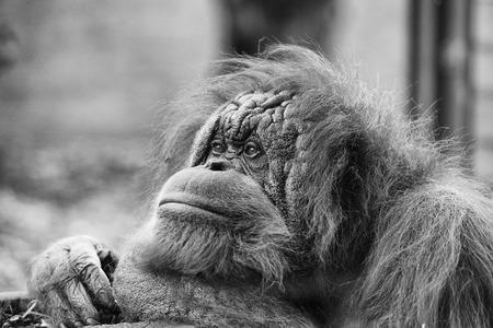 orangutang: orang utan monkey portrait while looking at yuo Stock Photo
