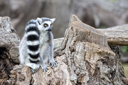 zoo animal: lemur monkey close up portrait