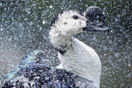 crested duck: Crested Wild Duck while splashing on water background