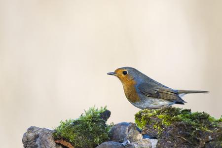 red breast: robin bird red breast portrait