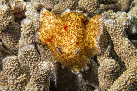 nudi: Macro on Platydoris Cruenta nudibranch in indonesia