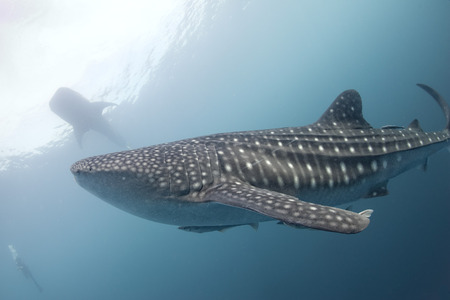 Whale Shark underwater with big open mouth jaws while coming to you photo
