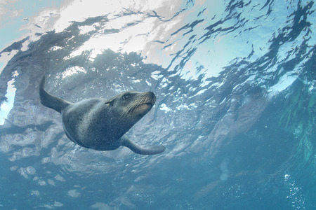 pinniped: Puppy sea lion seal coming to you to have fun and play