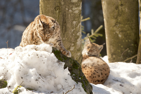Lynx in the snow background while looking at you suspicious photo
