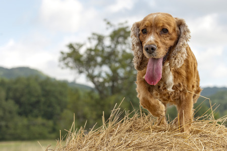 Cocker spaniel dog looking at you from harvested wheat photo
