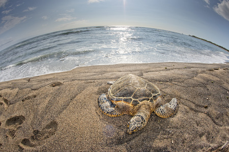 chelonia: Green Turtle while relaxing on sandy beach