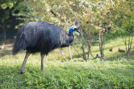 cassowary: cassowary portrait on green grass