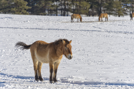 mongol: mongol horse on snow background