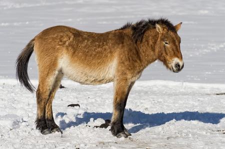 mongolia horse: mongol horse on snow background