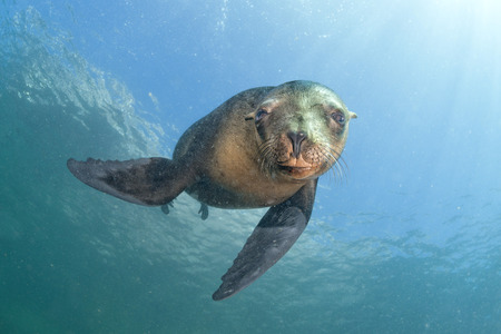 sun from underwater: sea lion seal coming to you underwater