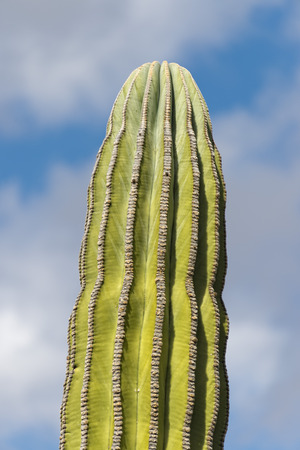 baja california: desert cactus in baja california