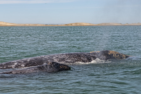 grey whale mother and calf in the Pacific ocean