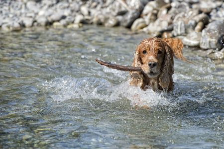 spaniel: Happy english cocker spaniel while playing in the river