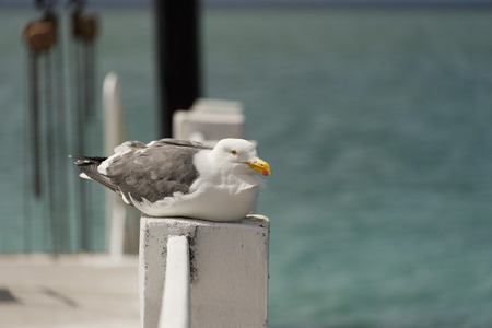 zuma: portrait of seagull on wooden pier