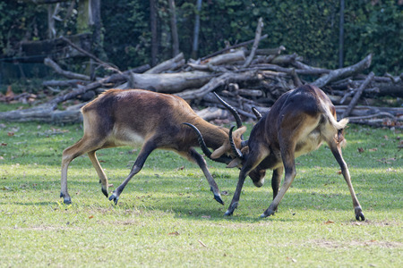 Impala African deers while fighting photo