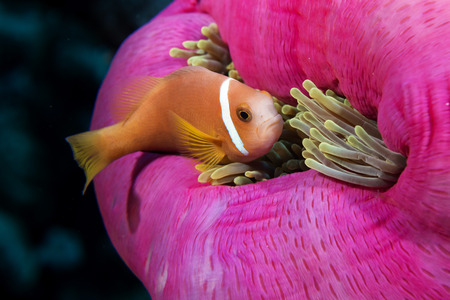 Clown fish portait while looking at you from anemone tentacles photo