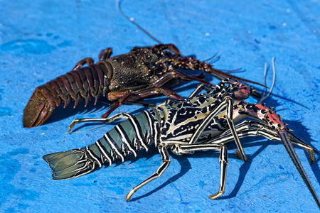 lobster boat: fresh lobster in fishing boat in maldives Stock Photo