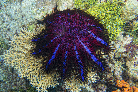 Sea star crown of thorns while eating hard coral photo