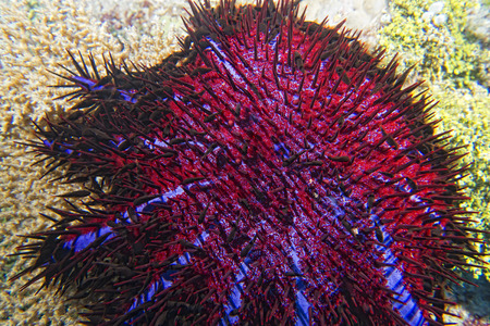 guinea worm: Sea star crown of thorns while eating hard coral Stock Photo