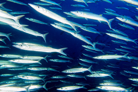 Barracuda Fish underwater close up portrait photo