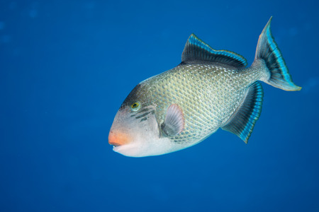 clown triggerfish: Trigger fish underwater close up portrait Stock Photo