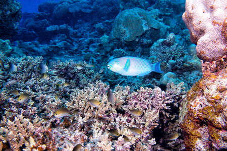 sweetlips: A colorful parrot fish while diving