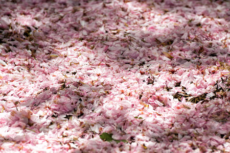 spring tide: pink cherry blossom in washington