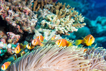 guinea worm: Clown fish family inside red anemone