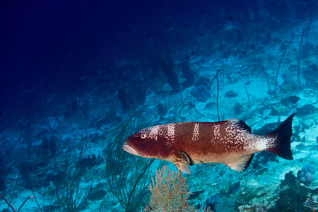 Oceanic colorful red grouper on the reef background photo